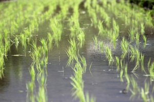 Rice Fields and Agriculture | IFIS Publishing