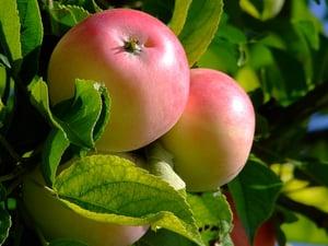 Apples | IFIS Publishing