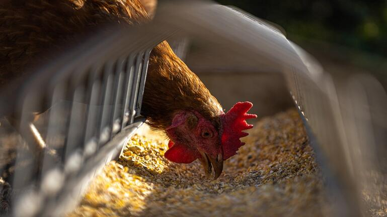 Chicken Feed | IFIS Publishing
