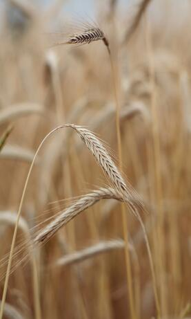 Wheat | IFIS Publishing