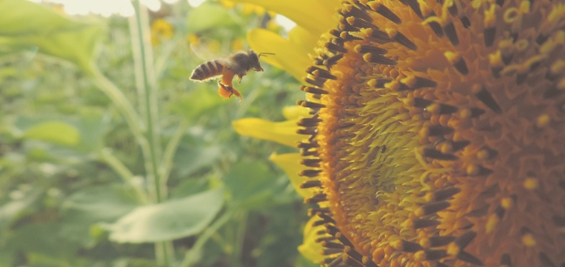 Insect Pollinators | IFIS Publishing